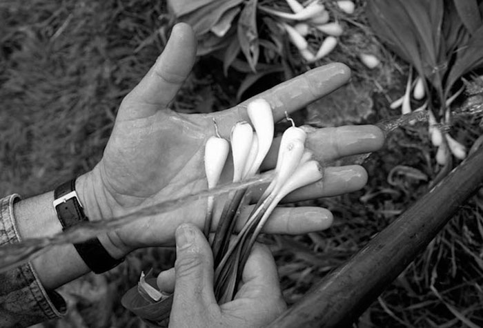The Case of the Wild Onions: The Impact of Ramps on Cherokee Rights